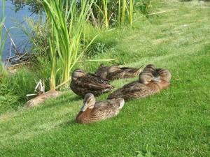 Ducks-2011