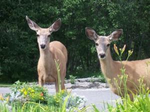Deer-2011